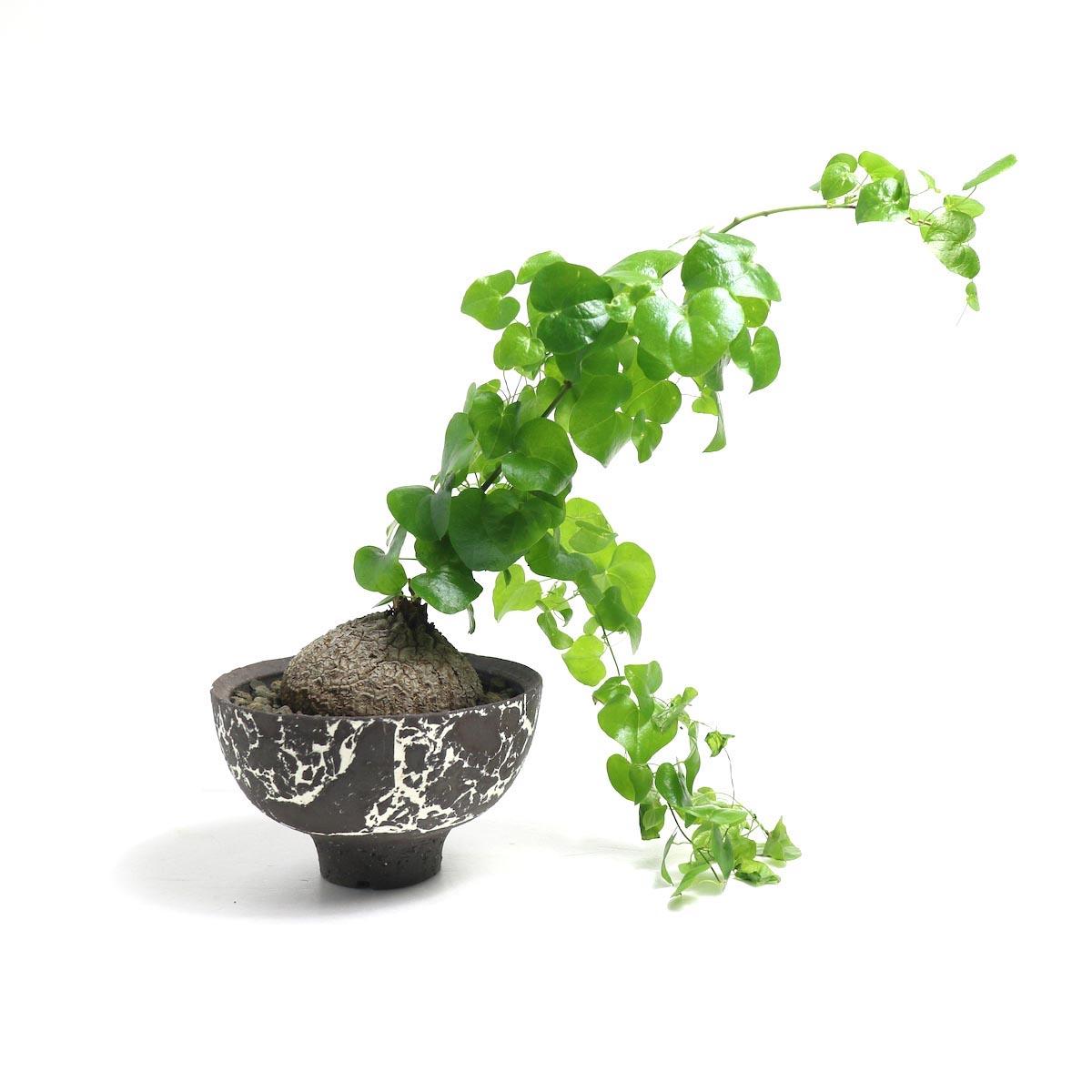 Dioscorea elephantipes (亀甲竜) × 然 (ZEN) Pot 【Botanize】