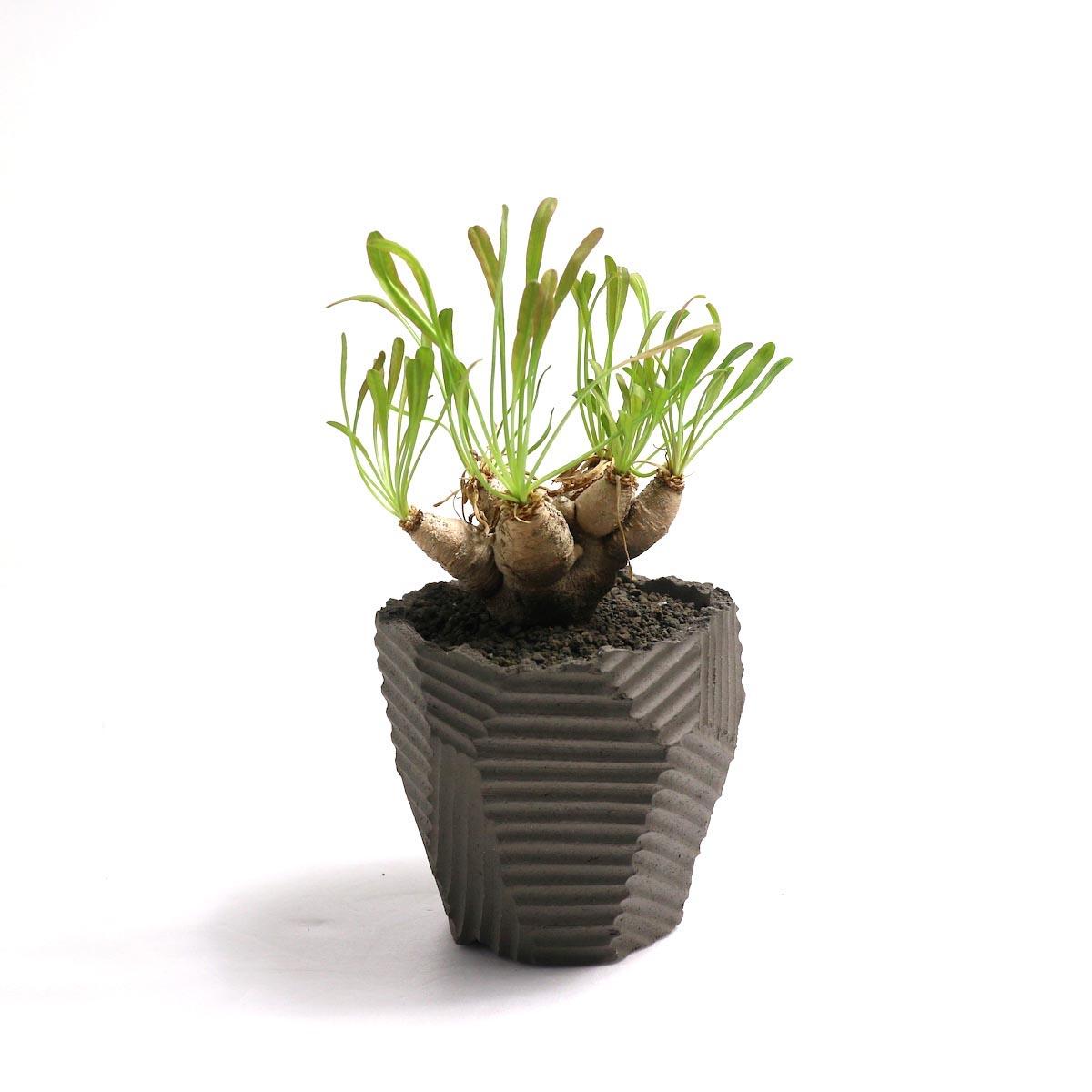 """Euphorbia Crispa (波涛キリン) × NEOSHIHO """"朔""""【Botanize】正面"""