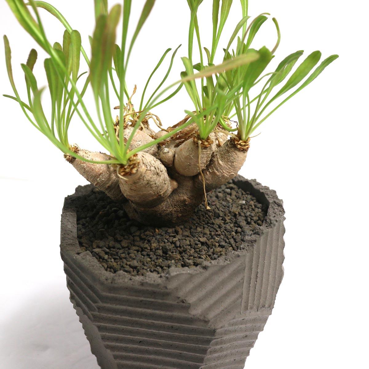 "Euphorbia Crispa (波涛キリン) × NEOSHIHO ""朔""【Botanize】アップ"