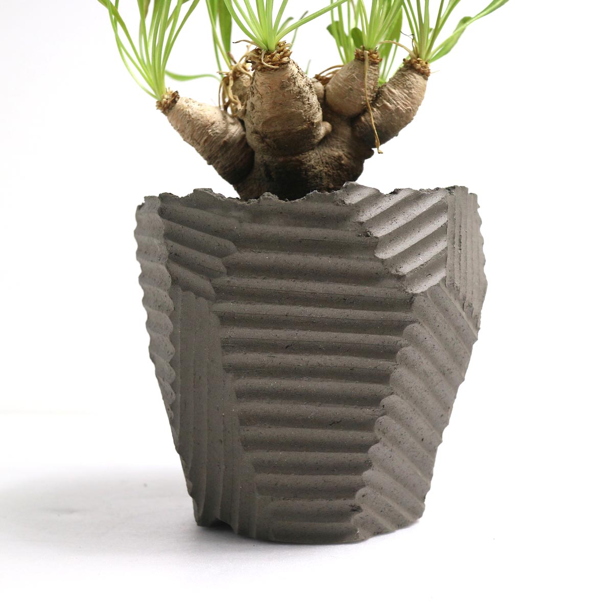 "Euphorbia Crispa (波涛キリン) × NEOSHIHO ""朔""【Botanize】鉢"