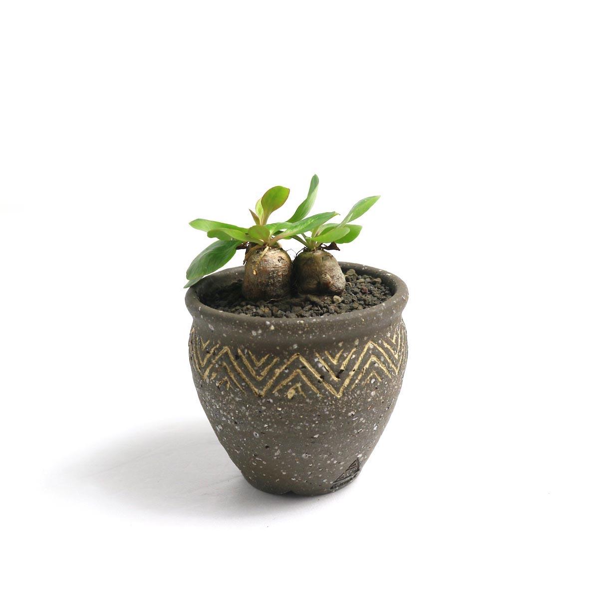 "Euphorbia Ecklonii (鬼笑い) × Konect ""ageo""【Botanize】正面"