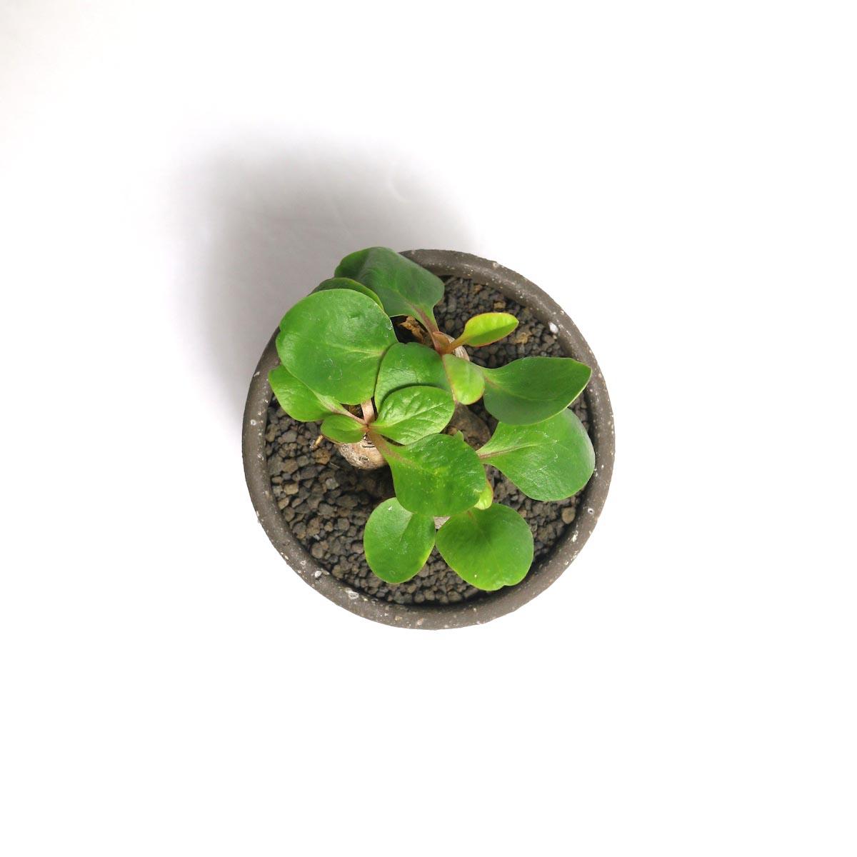 "Euphorbia Ecklonii (鬼笑い) × Konect ""ageo""【Botanize】上"