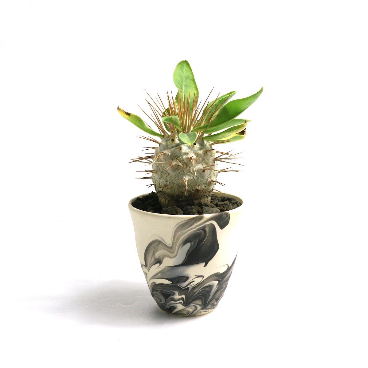 """Pachypodium Namaquanum (光堂) × Konect """"oboro""""【Botanize】正面"""