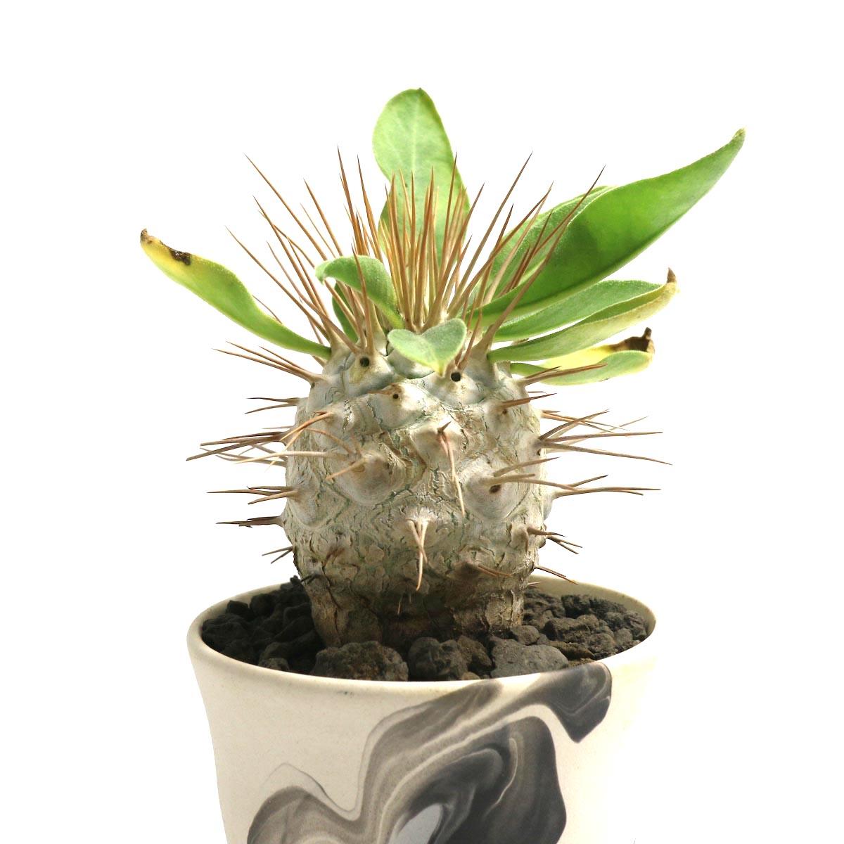 "Pachypodium Namaquanum (光堂) × Konect ""oboro""【Botanize】アップ"