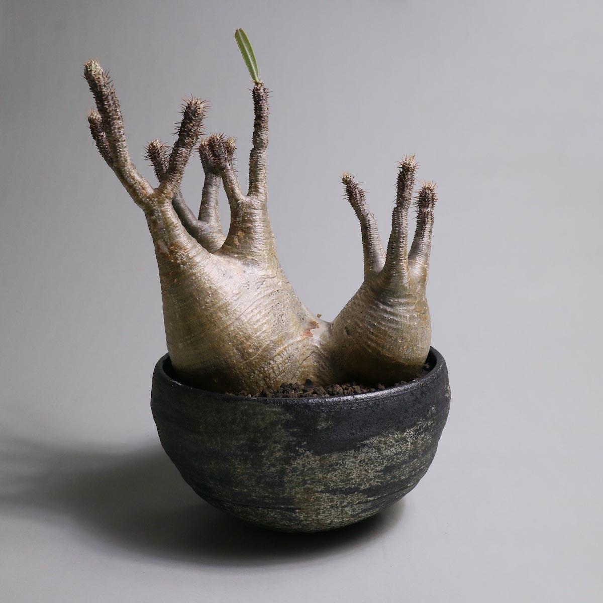 Pachypodium rosulatum var. gracilius(2頭) × SHO-DO【Botanize】正面