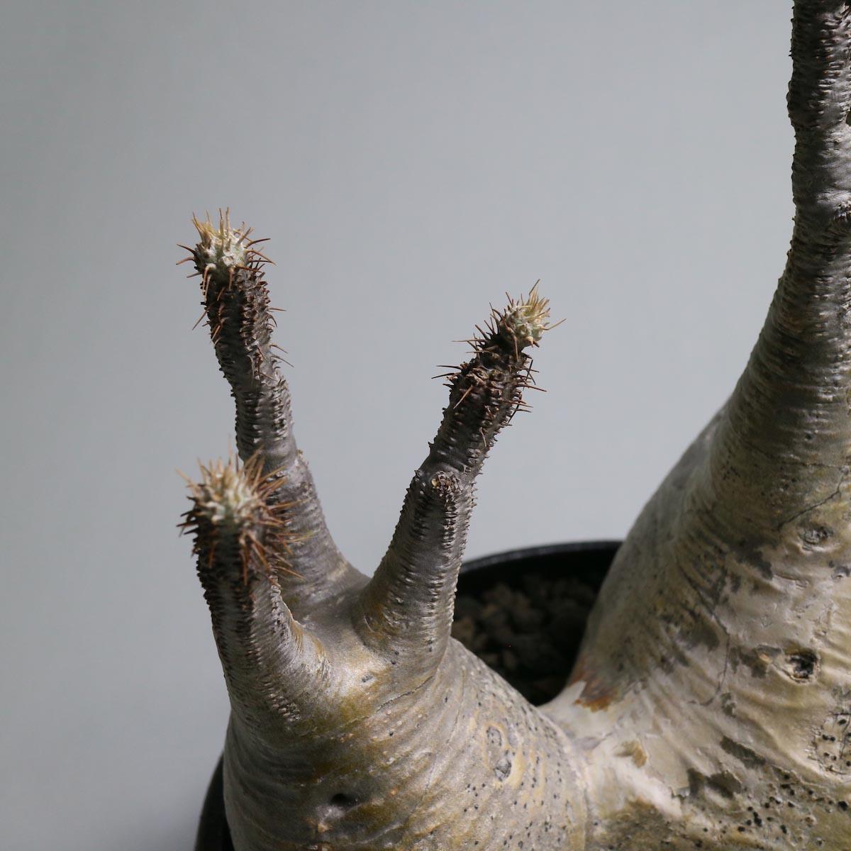 Pachypodium rosulatum var. gracilius(2頭) × SHO-DO【Botanize】枝先