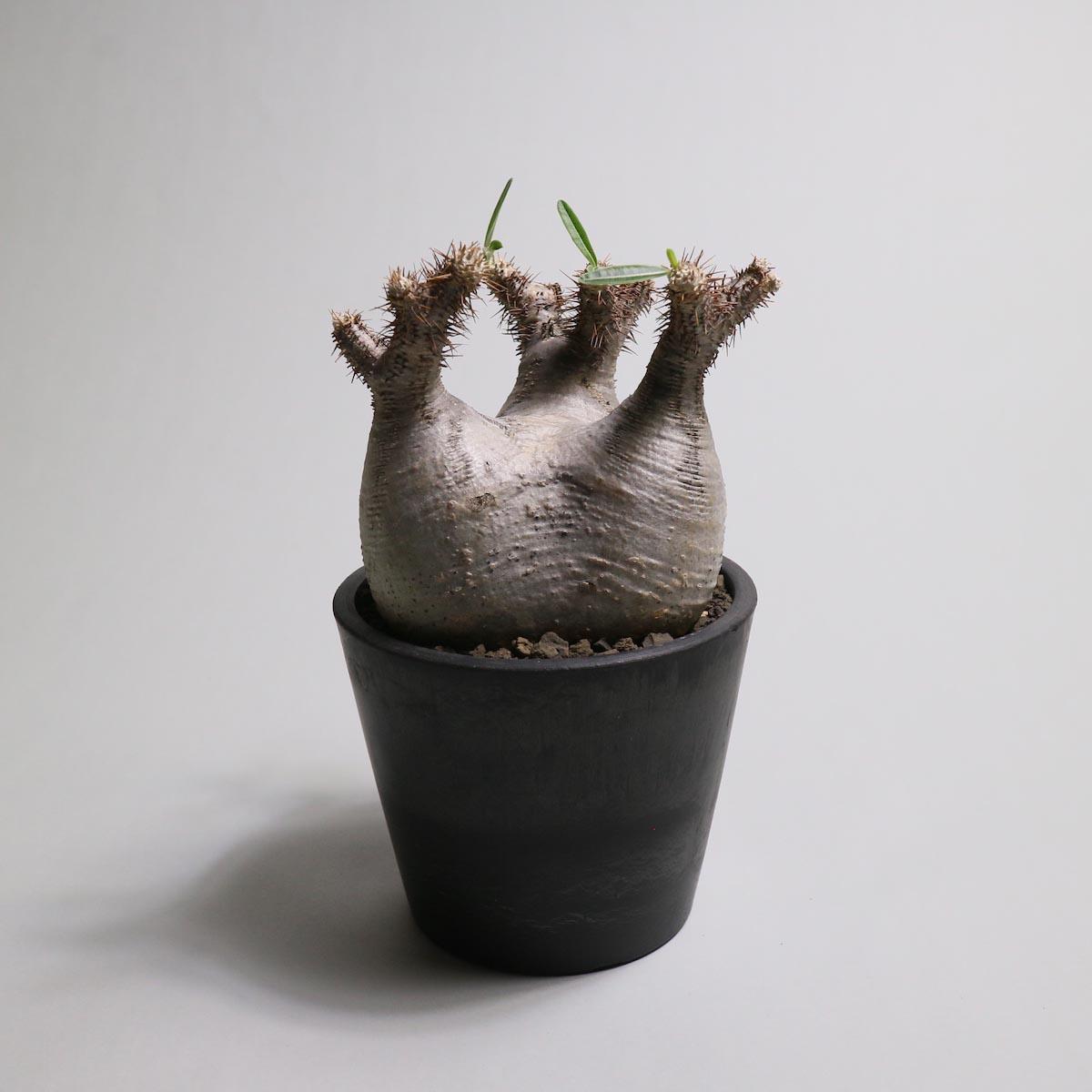 Pachypodium rosulatum var. gracilius 分頭【Botanize】