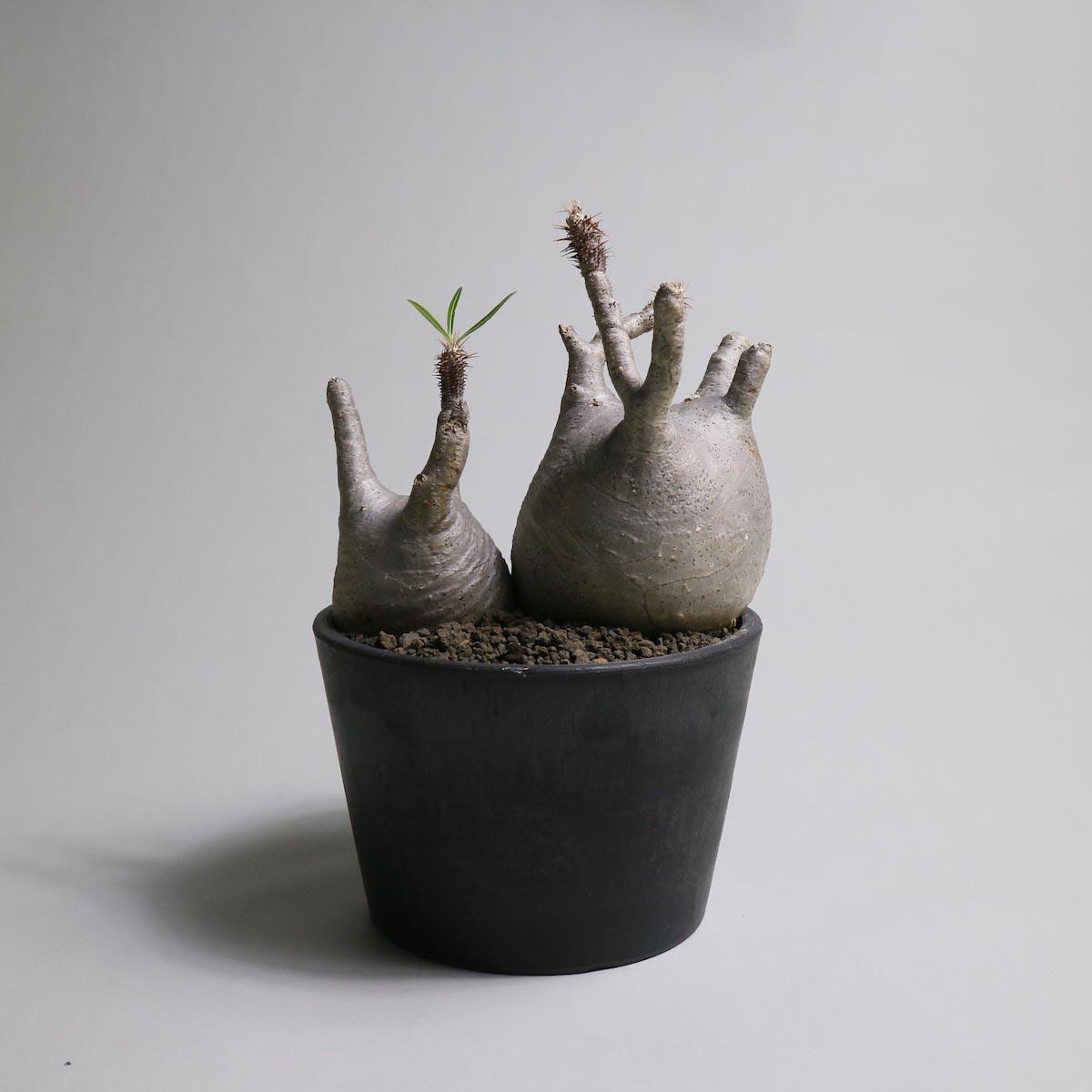 Pachypodium rosulatum var. gracilius 2頭【Botanize】