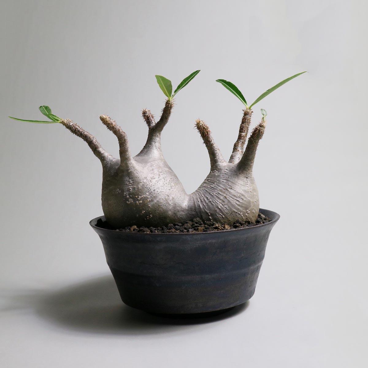 Pachypodium rosulatum var. gracilius 2頭 × invisible ink【Botanize】正面