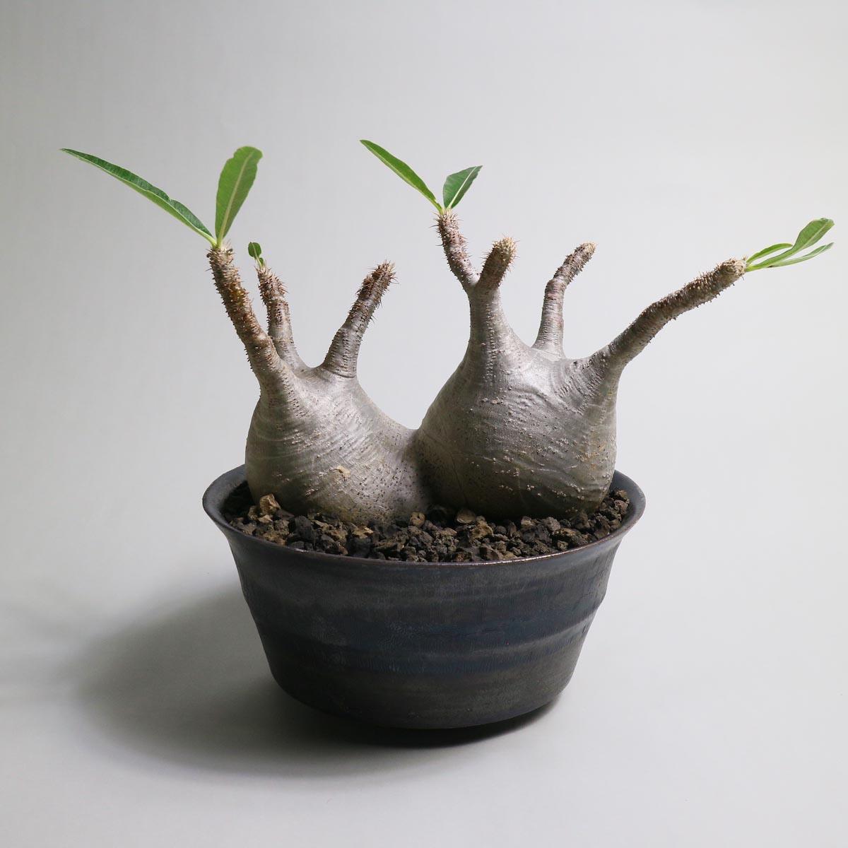 Pachypodium rosulatum var. gracilius 2頭 × invisible ink【Botanize】背面