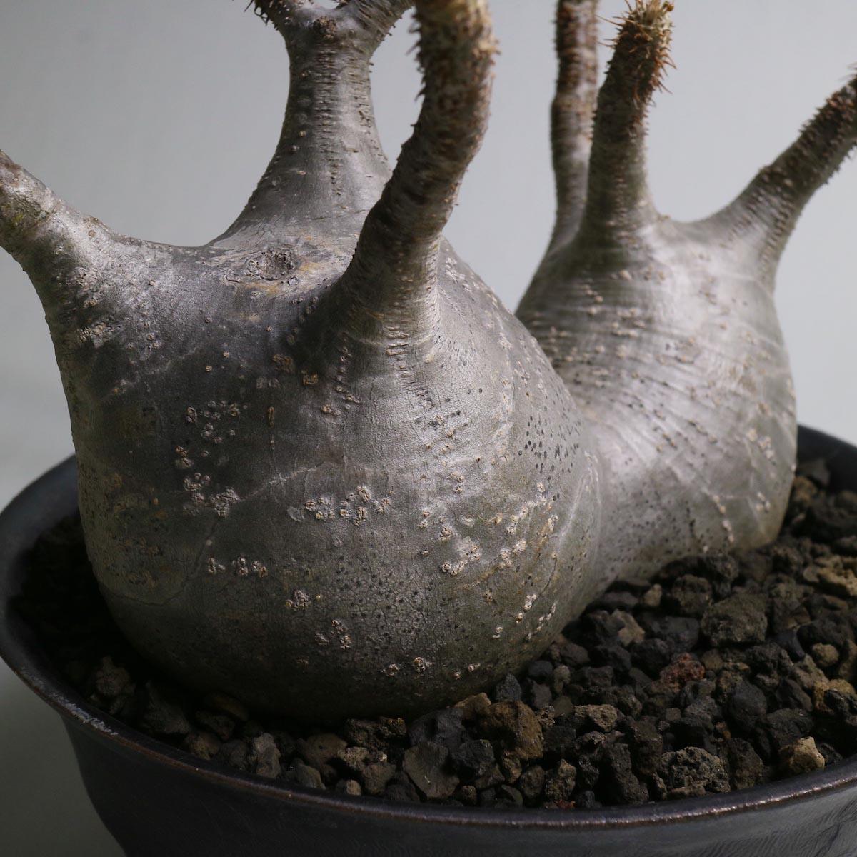 Pachypodium rosulatum var. gracilius 2頭 × invisible ink【Botanize】株