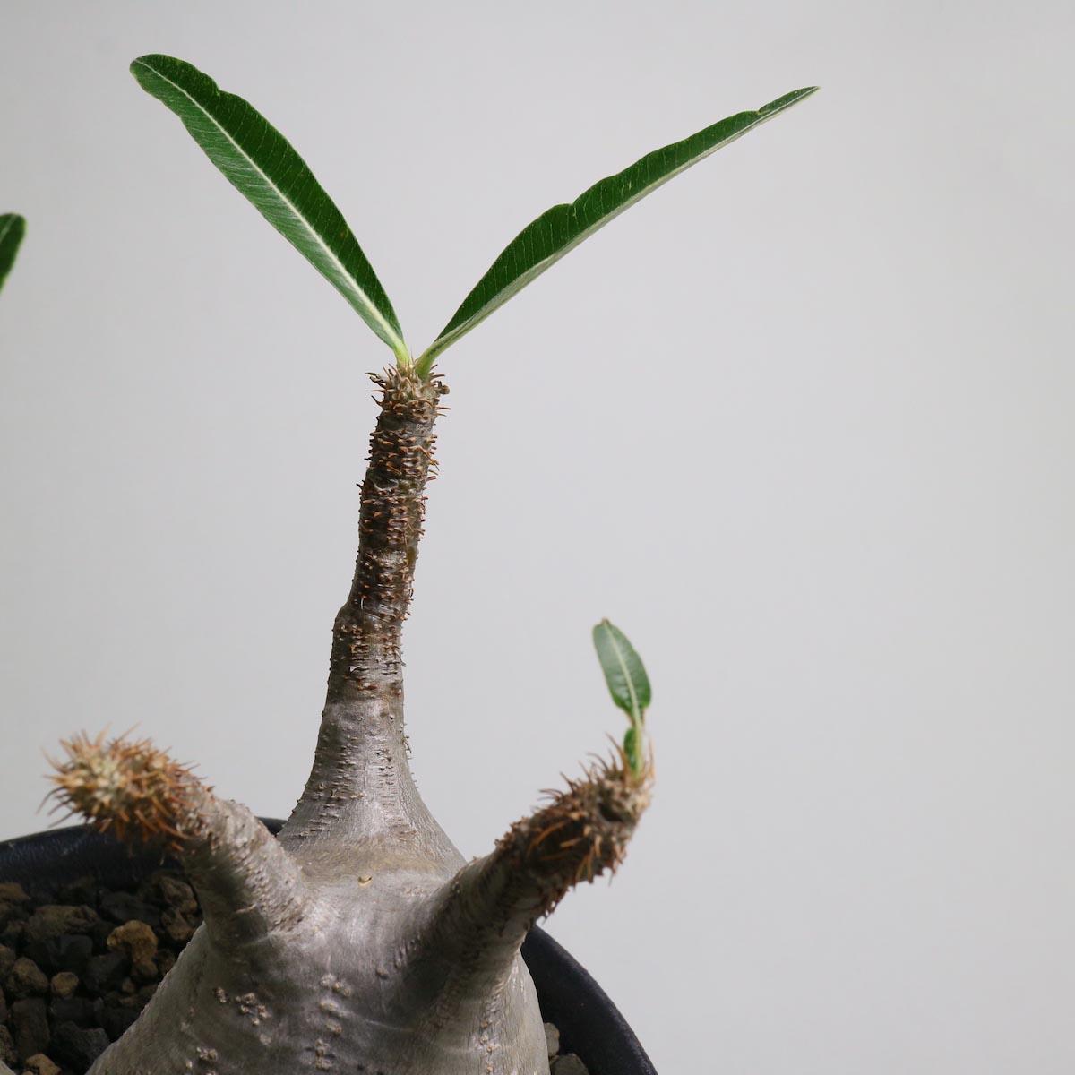Pachypodium rosulatum var. gracilius 2頭 × invisible ink【Botanize】枝先