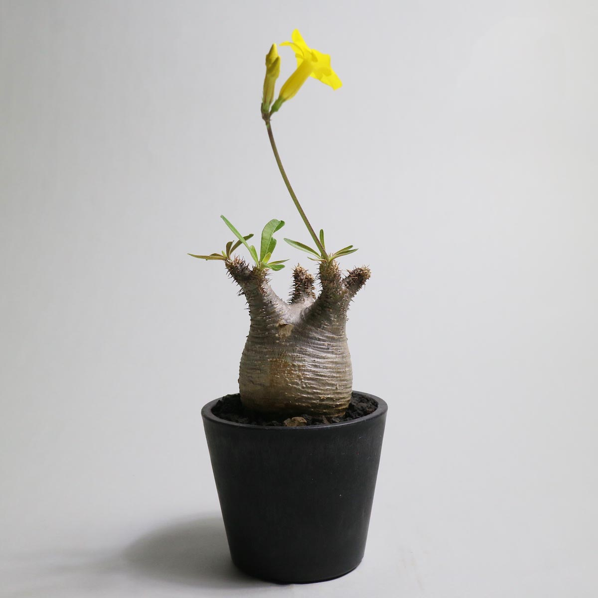 Pachypodium rosulatum var. gracilius【Botanize】