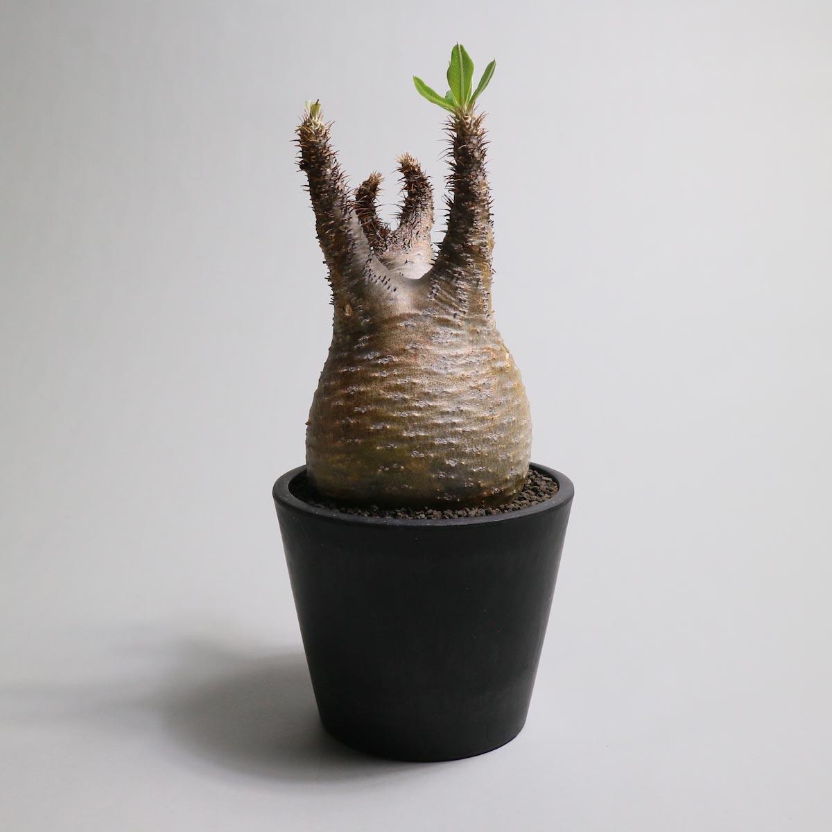 Pachypodium rosulatum var. gracilius【Botanize】正面