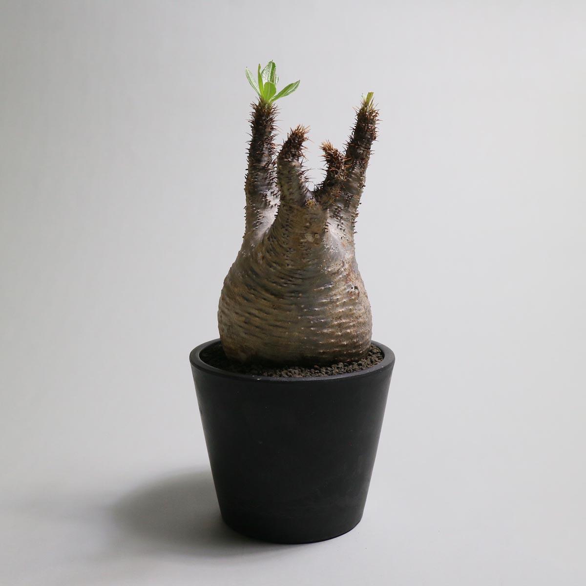 Pachypodium rosulatum var. gracilius【Botanize】背面