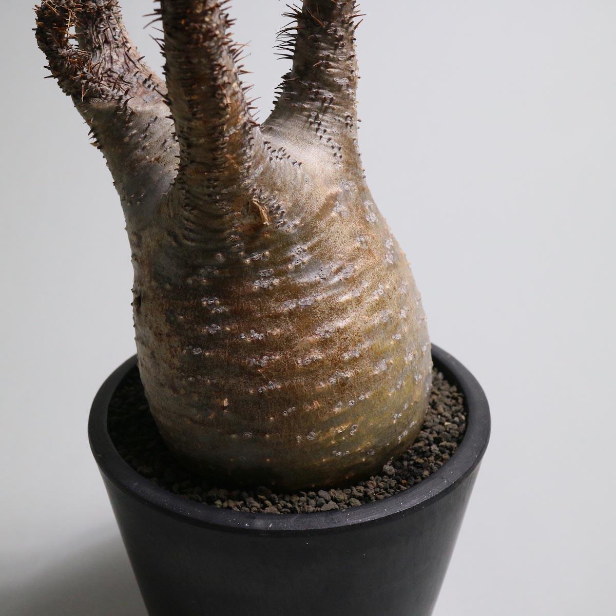Pachypodium rosulatum var. gracilius【Botanize】株