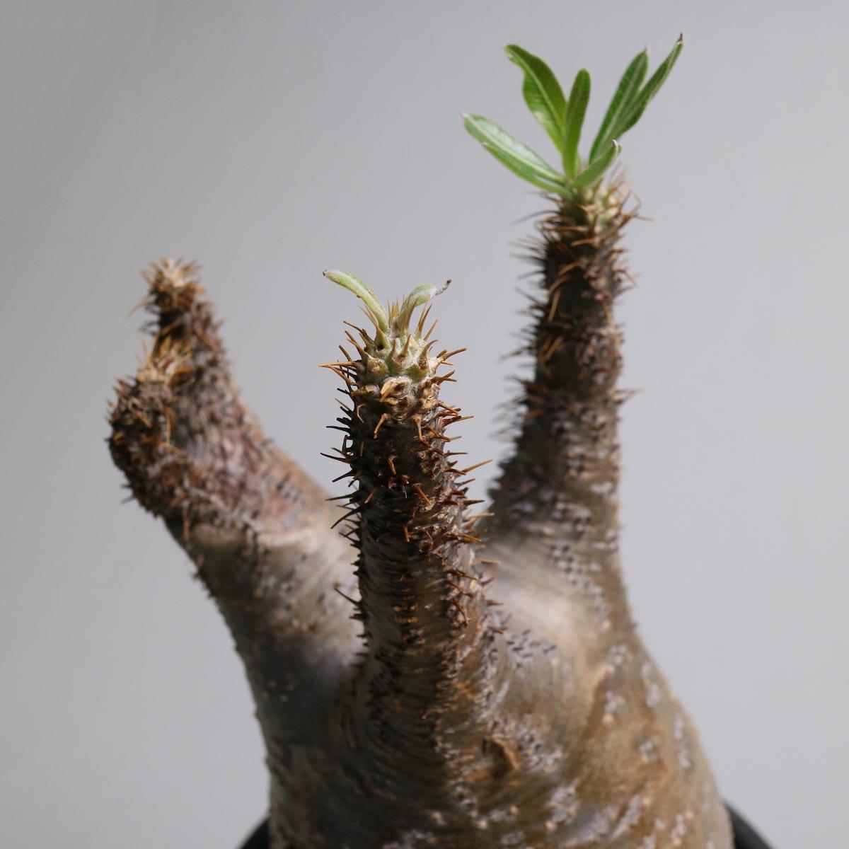 Pachypodium rosulatum var. gracilius【Botanize】枝先