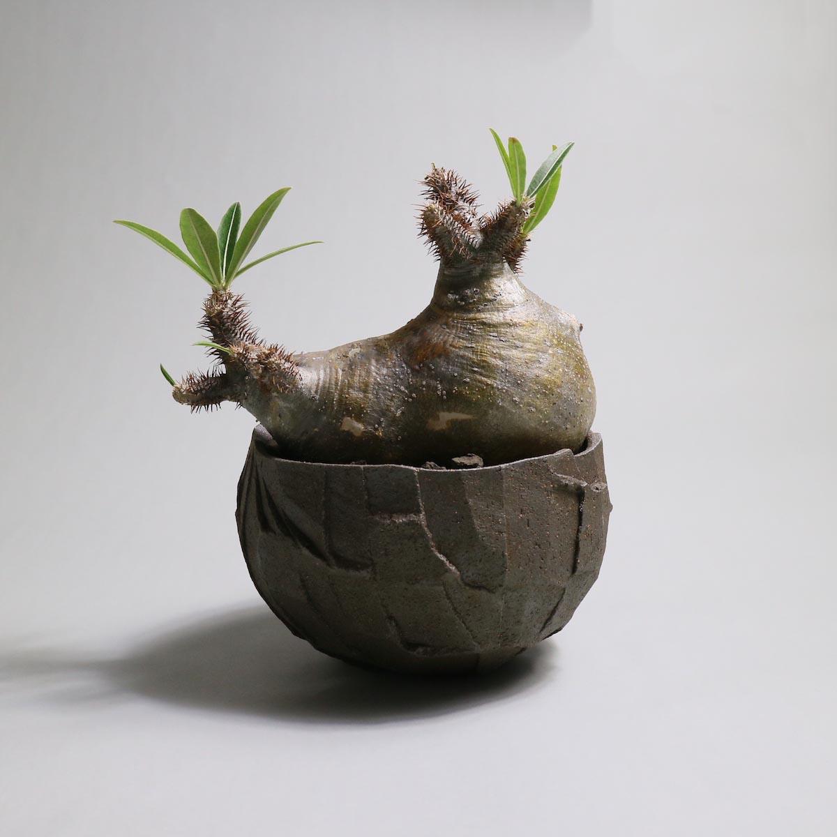 Pachypodium rosulatum var. gracilius 分頭 × ST POT【Botanize】背面