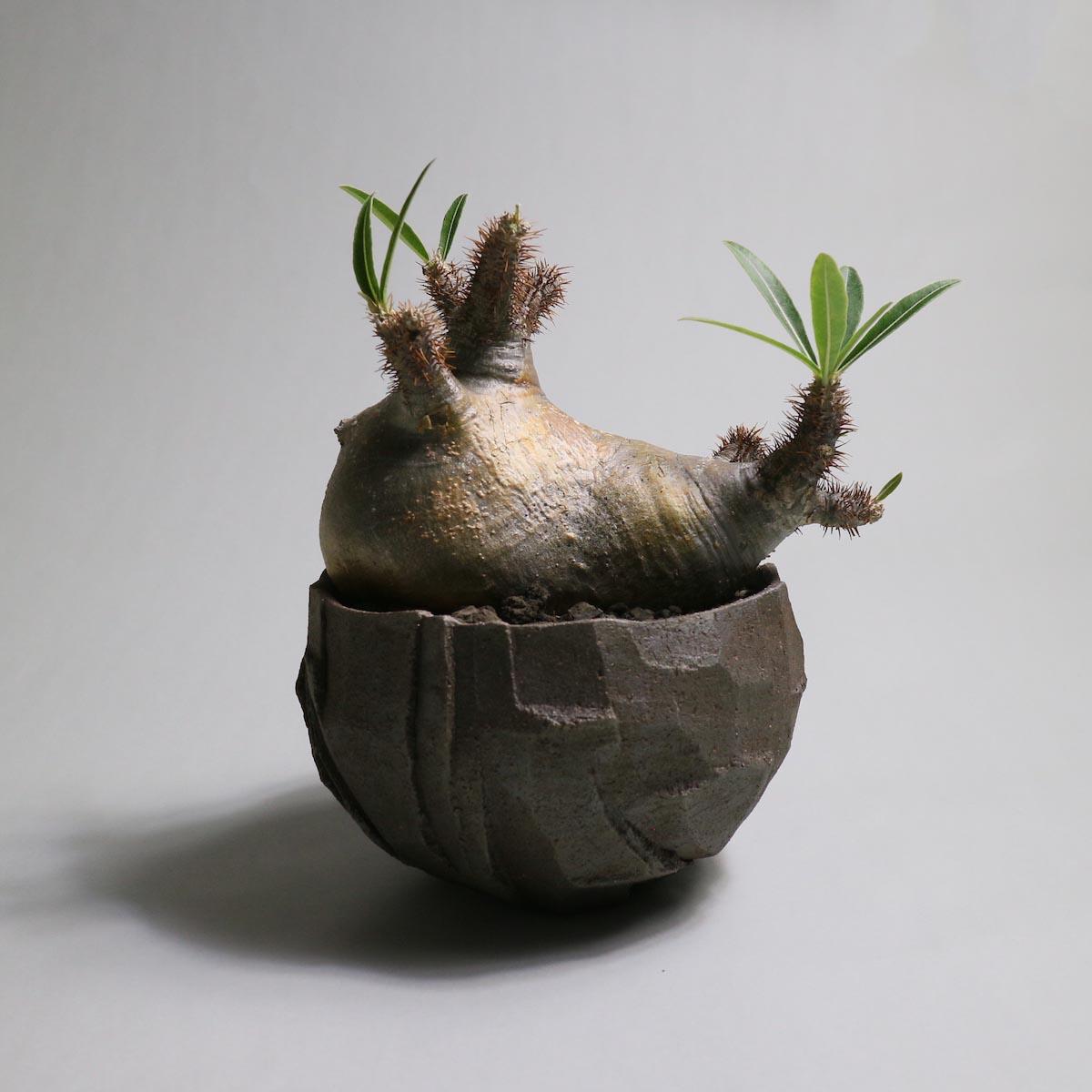Pachypodium rosulatum var. gracilius 分頭 × ST POT【Botanize】正面